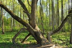 Árbol torcido en el bosque Imagen de archivo