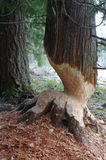 Árbol trabajado por un río del castor Imagen de archivo libre de regalías