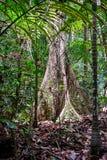Árbol tropical de la selva tropical con los contrafuertes imagen de archivo
