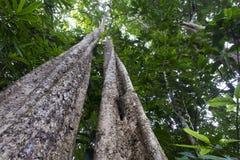 Árbol tropical de la selva tropical Imagen de archivo libre de regalías