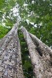 Árbol tropical de la selva tropical Foto de archivo