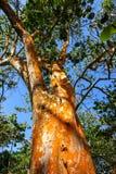 Árbol tropical en el Caribe Imagenes de archivo