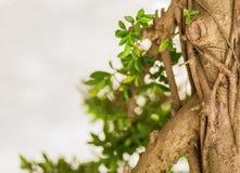 Árbol tropical entrelazado con las ramas gruesas de la liana con diseño bajo del eco de la invitación del diseño de las hojas imágenes de archivo libres de regalías