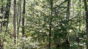 Árbol un abeto en la madera en el sol almacen de video