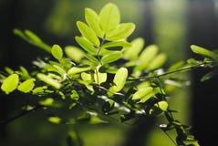 Árbol un acacia Foto de archivo