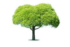 Árbol verde Imagenes de archivo