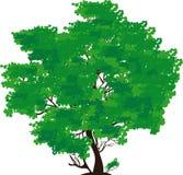 Árbol verde Foto de archivo libre de regalías