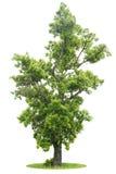 Árbol verde aislado Fotos de archivo libres de regalías