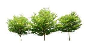 Árbol verde aislado en el fondo blanco, nombre binomial Terminali fotografía de archivo libre de regalías