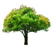 Árbol verde aislado en el vector blanco del fondo Foto de archivo libre de regalías