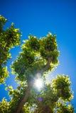Árbol verde con el tronco grueso contra el cielo azul con el sol Imagenes de archivo