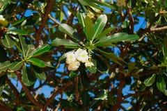 Árbol verde con las flores florecientes de la aralia o del plumeria fotos de archivo