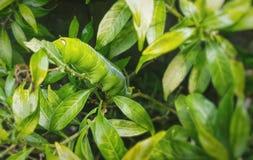 Árbol verde de la consumición del gusano grande Fotos de archivo