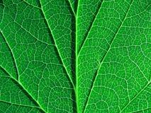 Árbol verde de la hoja Imagen de archivo libre de regalías