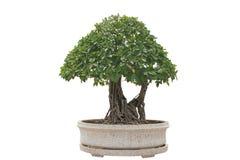 Árbol verde de los bonsais Imagen de archivo