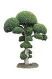 Árbol verde de los bonsais Foto de archivo libre de regalías