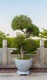 Árbol verde de los bonsais imagen de archivo libre de regalías