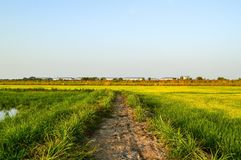 Árbol verde del arroz en el país, Chachoengsao, Tailandia imágenes de archivo libres de regalías