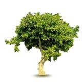 Árbol verde del vector Imágenes de archivo libres de regalías