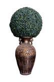 Árbol verde en el florero romano aislado Imagenes de archivo