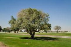 Árbol verde en el parque Imagen de archivo libre de regalías