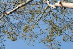 Árbol verde en fondo del cielo Foto de archivo