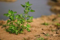 Árbol verde en suelo seco foto de archivo