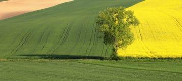 Árbol verde entre los campos amarillos y verdes Fotografía de archivo libre de regalías