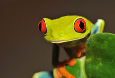 Árbol verde eyed rojo o rana llamativa de la hoja, Costa Rica foto de archivo