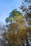 Árbol verde grande en el otoño, caída Fotos de archivo