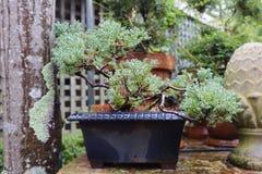Árbol verde hermoso de la planta de los bonsais en planta de tiesto imagenes de archivo