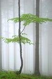 Árbol verde joven en niebla densa del bosque Fotografía de archivo