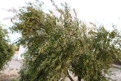 Árbol verde oliva del ` s Foto de archivo libre de regalías