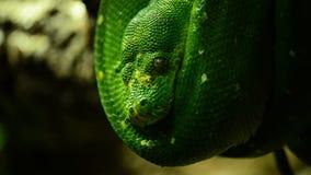 Árbol verde Python almacen de video