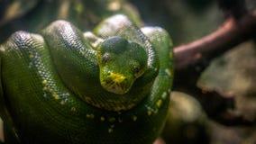 Árbol verde Python fotografía de archivo libre de regalías