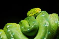Árbol verde Python Fotos de archivo libres de regalías