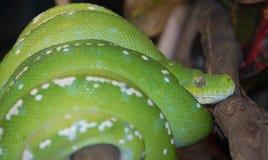 Árbol verde Python Foto de archivo libre de regalías