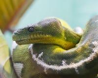 Árbol verde Python Imágenes de archivo libres de regalías