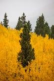 Árbol verde rodeado por las hojas de oro Fotos de archivo
