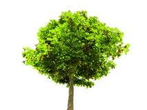 Árbol verde solitario aislado en blanco Foto de archivo