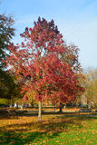 Árbol vibrante brillante del sweetgum del color y x28; Styraciflua& x29 del liquidámbar; foto de archivo