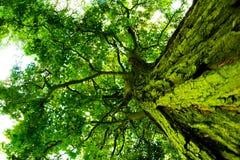 Árbol viejo Imagen de archivo