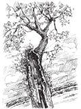 Árbol viejo Foto de archivo libre de regalías