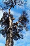 Árbol viejo Foto de archivo