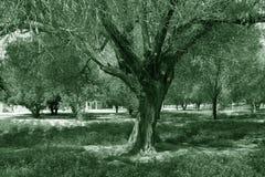 Árbol viejo Fotografía de archivo