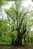Árbol viejo alto grande en un bosque de la primavera Fotos de archivo libres de regalías