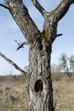 Árbol viejo con el agujero Imagen de archivo libre de regalías