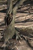 Árbol viejo con el knothole Imagen de archivo