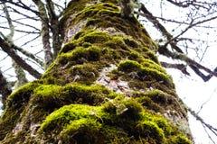 Árbol viejo con el musgo en la corteza Fotos de archivo libres de regalías