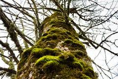 Árbol viejo con el musgo en la corteza Fotografía de archivo libre de regalías